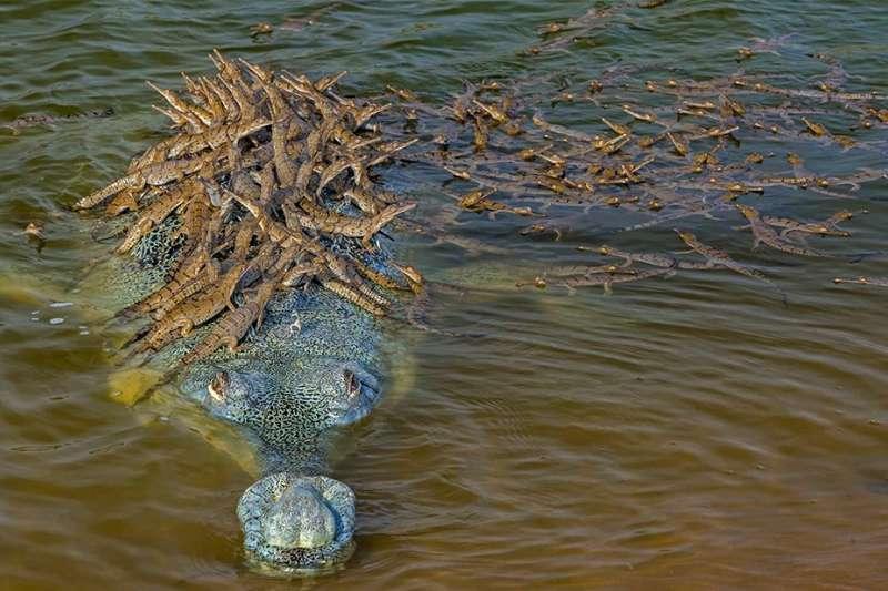 父親的驕傲:數數這個恆河鱷爸爸背上有多少小鱷魚?牠們都是牠的孩子(BBC中文網)