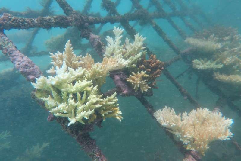 台灣山海天使環境保育協會,使用鐵架式珊瑚復育成長中。(圖/Oris提供)