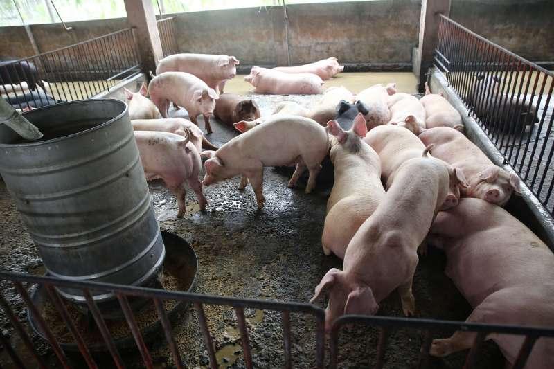 透過養豬產業更新改造,讓下一代願意接續在養豬行業,使臺灣養豬業永續發展。(圖/新新聞資料照片)
