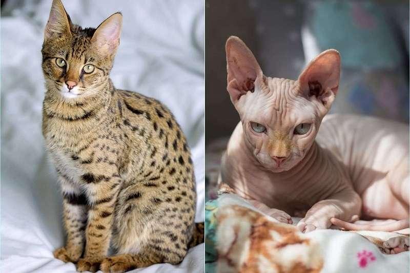 你也有飼養貓咪嗎?貓咪有著獨特個性與魅力,身價最高的貓咪品種甚至可以買間小套房。(圖/Savannahcatbreed)