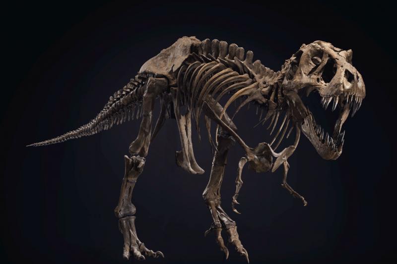暴龍化石「史丹」,將於10月6日佳士得拍賣會上拍賣,預估價格落在600萬至800萬美元(約合新台幣1億7000萬至2億3000萬元)。(截自Christie's網站)