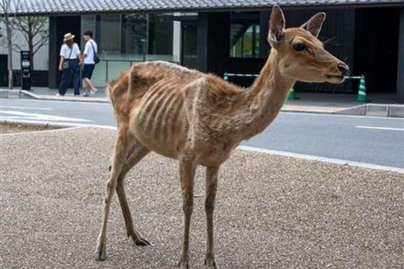 隨著疫情擴散,觀光客不再出現,鹿餅也沒人消費,鹿群的生活發生很大變化。(圖/Twitter@livedoornews)