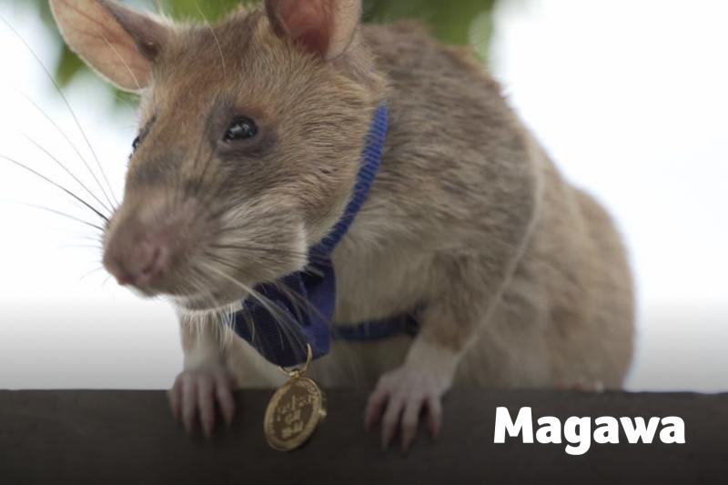7歲非洲巨鼠馬加瓦(Magawa)日前獲頒「動物勇氣獎」,以表揚其在柬埔寨探測地雷、犧牲奉獻的精神。(翻攝自PDSA官網)