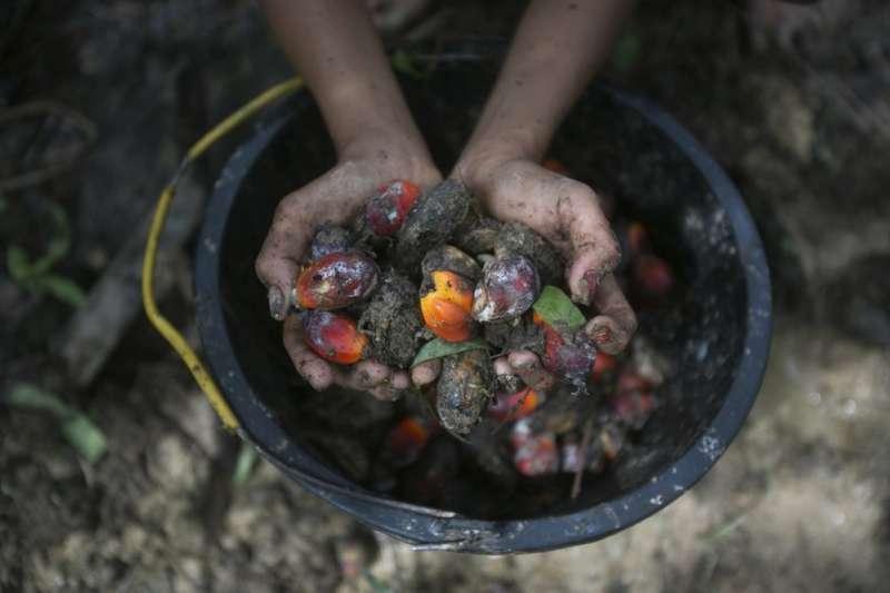 罪惡棕櫚油。一名女童手捧著削下來的油棕樹果實。(AP)