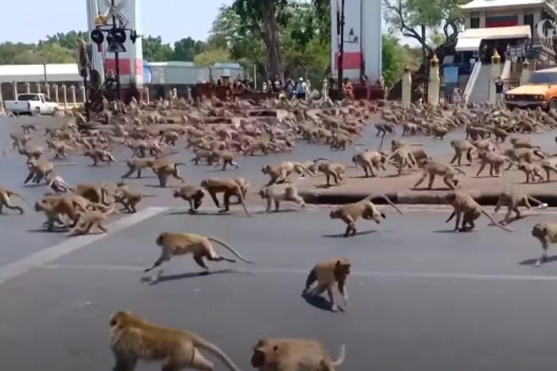 泰國獼猴數量激增,甚至佔領街道、搶奪食物,造成當地居民及遊客的重大困擾。(翻攝自YouTube)