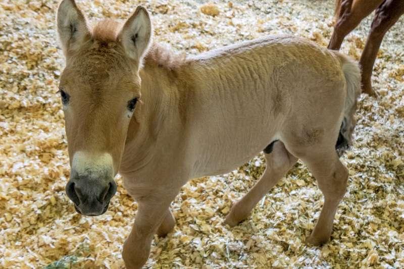 美國聖地亞哥動物園9月4日發布消息,表示科學家成功用40年前的冷凍細胞克隆出全球第一匹蒙古野馬。(美聯社)