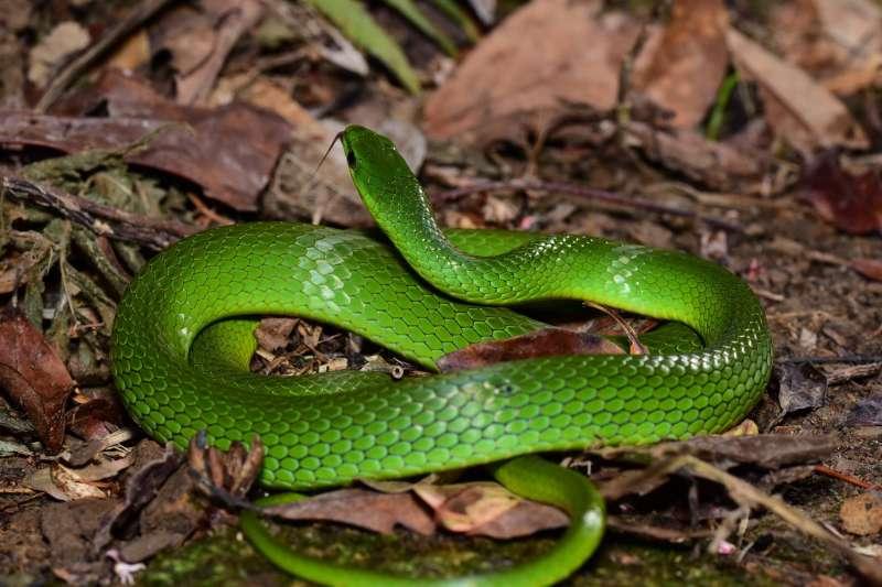 山林常見的無毒青蛇。(圖/宇宙浪人工作室提供)