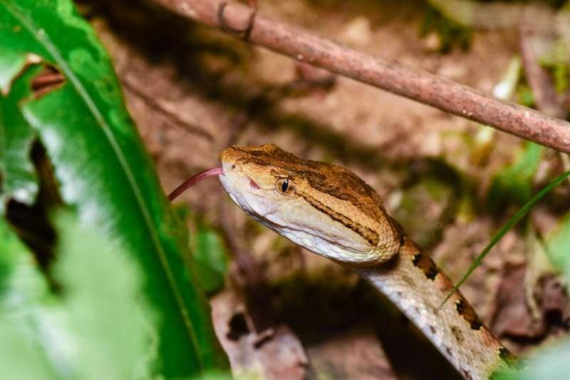 龜殼花是台灣六大毒蛇之一。(圖/莫名提供)