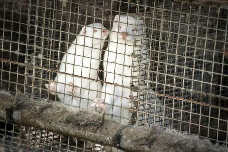 由於在水貂養殖場發現一種可傳染給人類的變異新冠病毒,丹麥決定撲殺多達1700萬隻水貂。(AP)