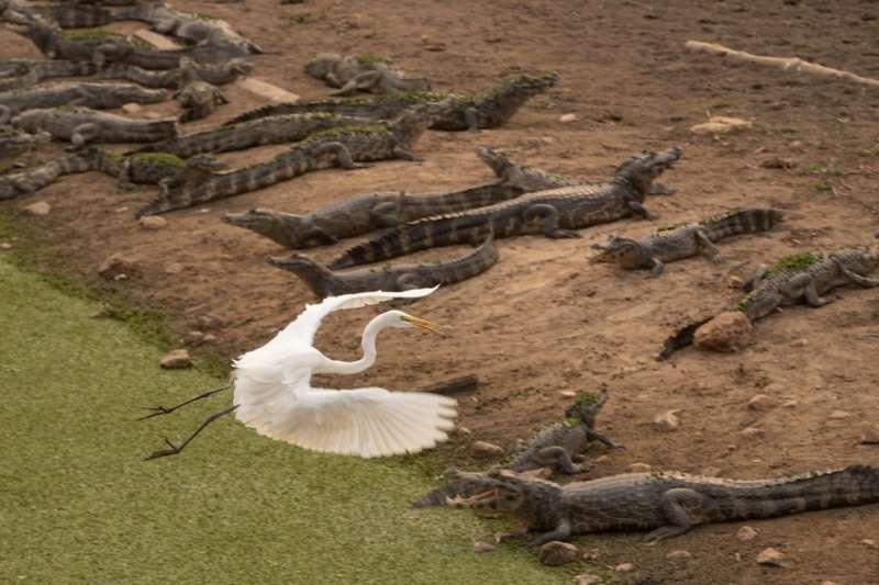 巴西潘塔納爾(Pantanal)濕地發生數十年來最嚴重火災,美洲豹、黑凱門鱷等瀕危物種在大火中掙扎求生。(AP)