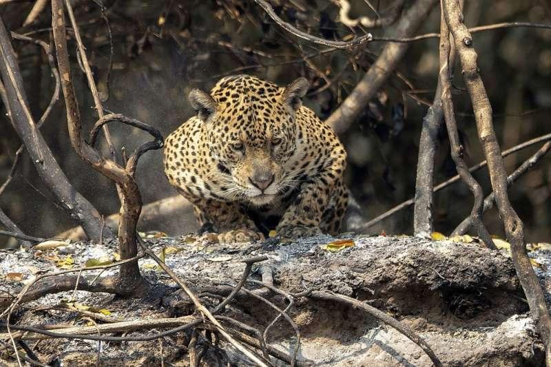 巴西潘塔納爾(Pantanal)濕地發生數十年來最嚴重火災,美洲豹等瀕危物種在大火中掙扎求生。(AP)