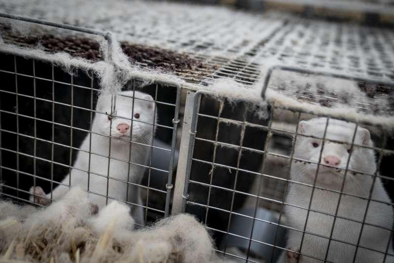 丹麥的養殖水貂被發現體內有新冠病毒,遭遇集體撲殺的噩運(AP)