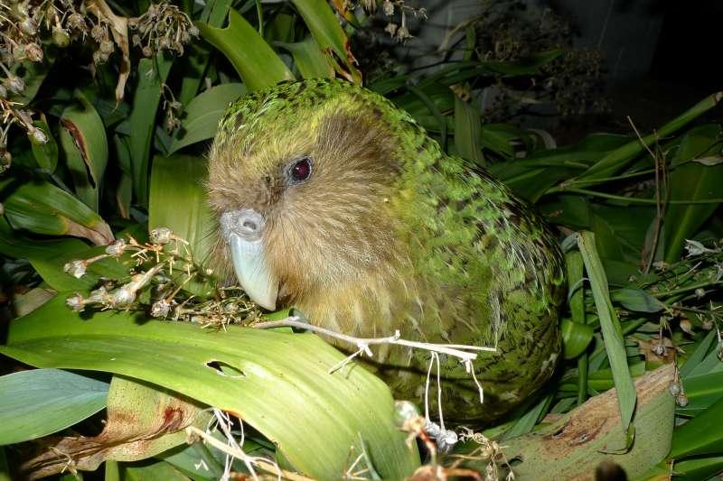 鴞鸚鵡(Department of Conservation@Wikipedia/CC BY 2.0)