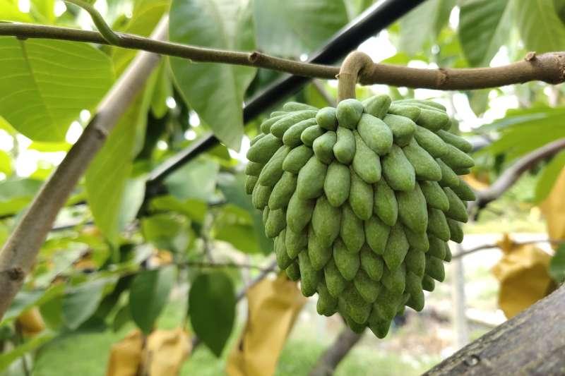 台灣的氣候條件適宜、生產技術高,栽種出來的鳳梨釋迦品質相當好。(圖/食力foodNEXT提供)