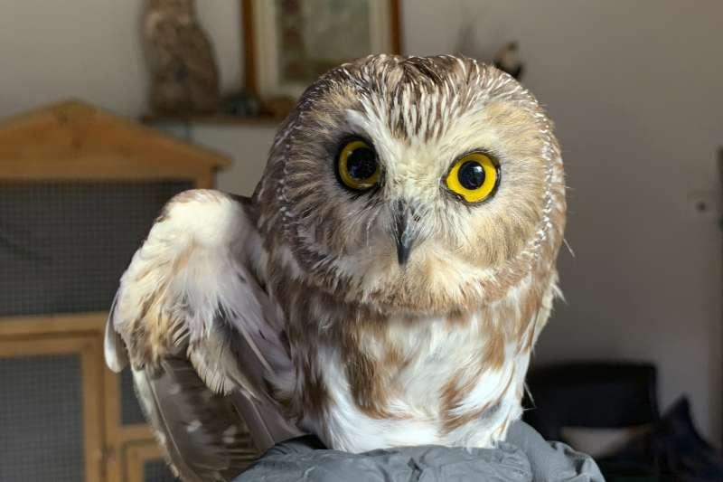 2020年耶誕節前夕,紐約洛克菲勒中心的耶誕樹上藏了一隻磨鋸貓頭鷹(Saw-whet owl)(AP)