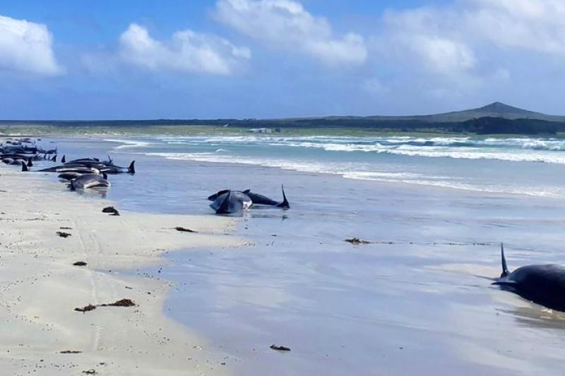 紐西蘭查塔姆群島近日大量鯨豚集體擱淺於岸邊,紐西蘭環保局22日中午接到通報後前往支援,超過120隻鯨豚依舊不幸死亡。( Jemma Welch@Department of Conservation (NZ)/CC BY 4.0)