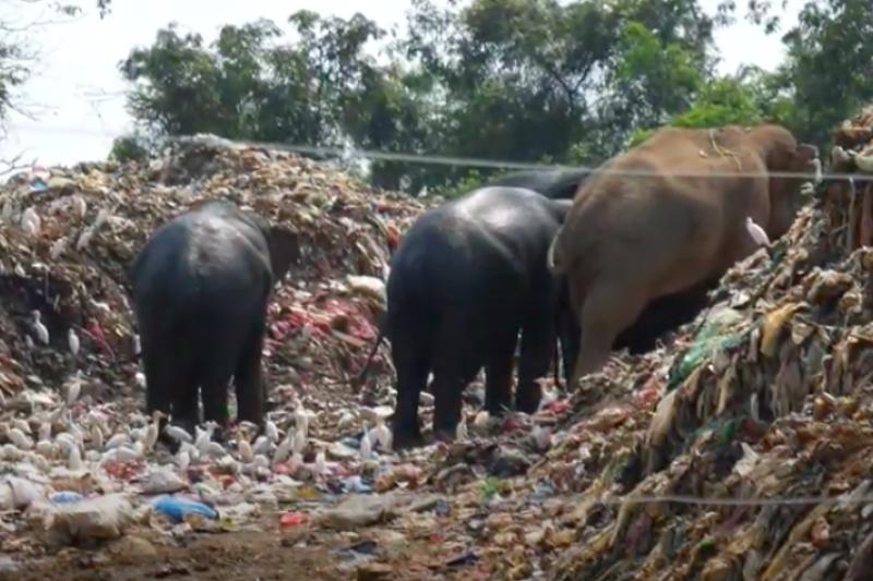 斯里蘭卡大象經常走進垃圾掩埋場覓食,當局正研擬對策預防。(截自Youtube)