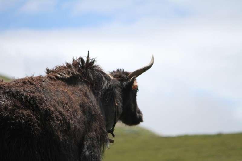作者介紹,對羌族人而言,在大山上放養馬與犛牛,也是一項很好的家庭副業。(示意圖/取自pixabay)