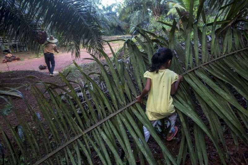 馬來西亞沙巴州,一名小女孩正在油棕園裡與家人一起工作(美聯社)