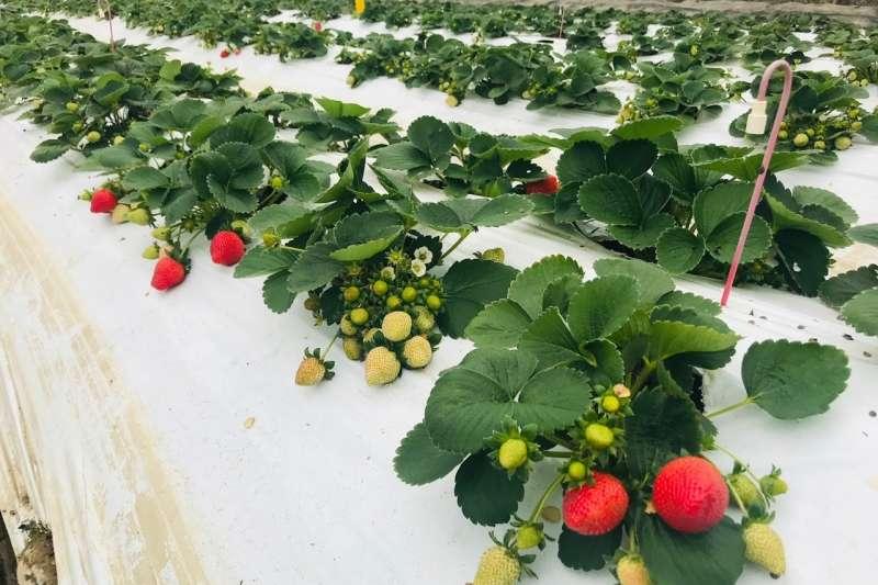 億光電子經過多年的研究,研發出能夠有效促進草莓果實鮮紅的特殊波段,並與新竹關西農場進行試驗。(圖/億光電子提供)