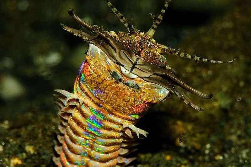 博比特蟲。(Jenny@Wikipedia CC BY 2.0)