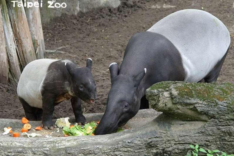 台北市立動物園馬來貘寶寶「貘豆」大年初二陪媽媽「貘芳」一起回娘家團聚(台北市立動物園)