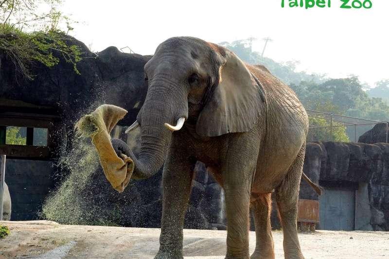 台北市立動物園準備新春福袋,園內非洲象開心享用。(取自台北市立動物園網站)