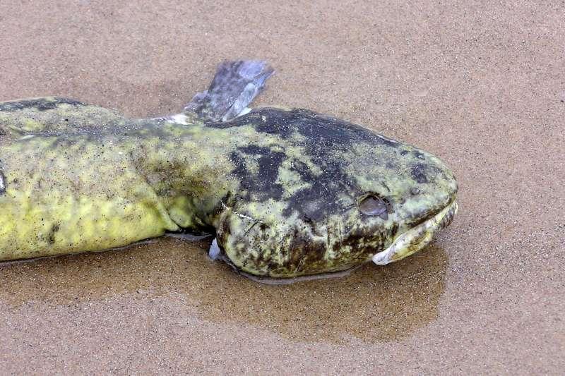 英國淡水魚江鱈如今已滅絕。(normanack@Flickr/CC BY2.0)