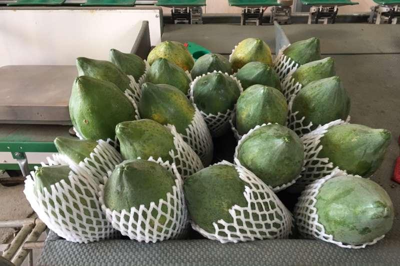 努力克服疫情的阻礙,高雄木瓜出口不間斷,今年首發到香港。(圖/高雄市農業局提供)