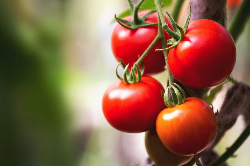 未來番茄可能不單純是食品,也能變成保健品的一種。(圖/shutterstock)