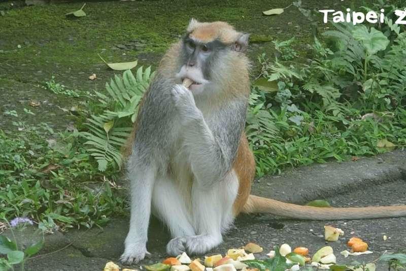 北市動物園的紅猴「男道」,於15日上午趁隙脫逃。(取自Taipei Zoo 臺北市立動物園臉書)