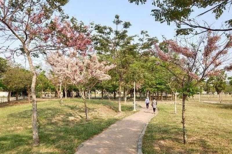 鳳山公園花旗木綻放。(圖/高雄市工務局提供)