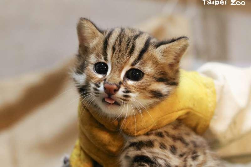 台北市立動物園石虎「平平」產下3兄妹,保育員用最快的速度為寶寶們測量體重和檢視性別,其中將二哥取名為「貓攬」,象徵可愛到讓人想「擁貓入懷」。(圖/台北市立動物園提供)