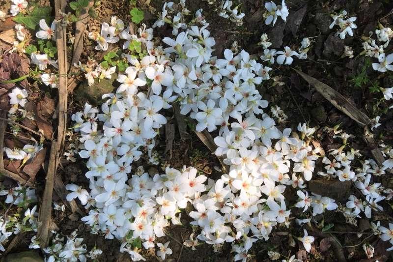 當微風緩緩拂過,雪白的油桐花落下,宛如下雪般美麗夢幻,和家人好友置身其中,讓大家都幸福加倍。(圖/新北市客家局提供)