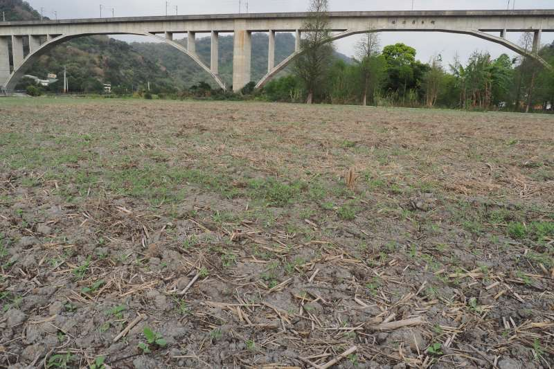 台灣面臨嚴重乾旱季,各地水庫持續探底,位於苗栗鯉魚潭水庫下的三義鯉魚潭村,超過一百公頃的稻作因缺水休耕,原本應是一片綠油油的稻田在缺水期成為一片枯地。(柯承惠攝)