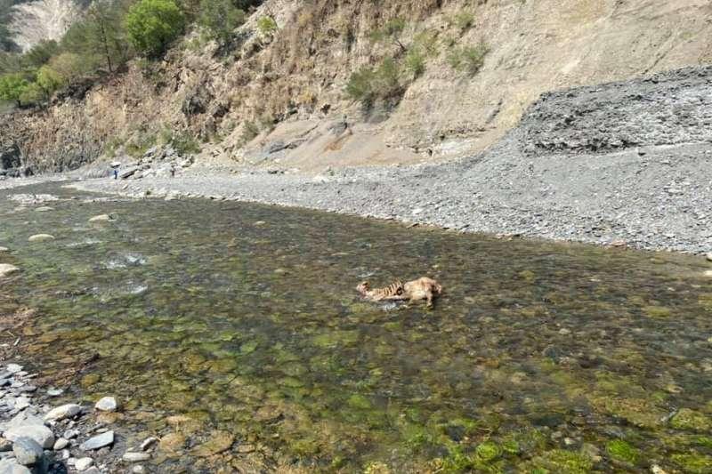 短短1公里溪流看到8隻被獵殺只取頭的水鹿屍體。(圖/取自台灣溫泉探勘網)