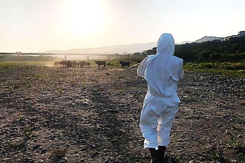 吹箭施打LSD疫苗放養役用及野放牛。(圖/新北市動保處提供)