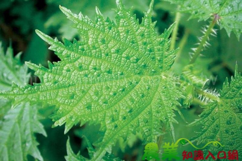 山林中有一種叫做「咬人貓」的蕁麻科植物,它的莖葉均具有尖銳刺毛,若不慎碰觸到會感到疼痛。(圖/取自農委會農業知識網)