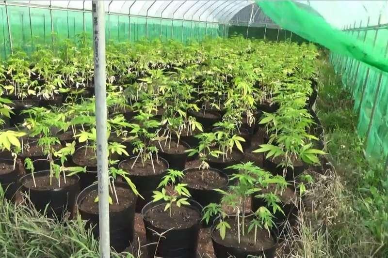 20210421-法務部調查局於新竹縣關西鎮山區破獲一大麻工廠,查獲國內大麻植株最高紀錄。(法務部調查局提供)