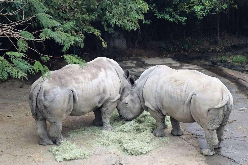 動物外交、台北市立動物園的白犀牛。(蔡娪嫣攝)