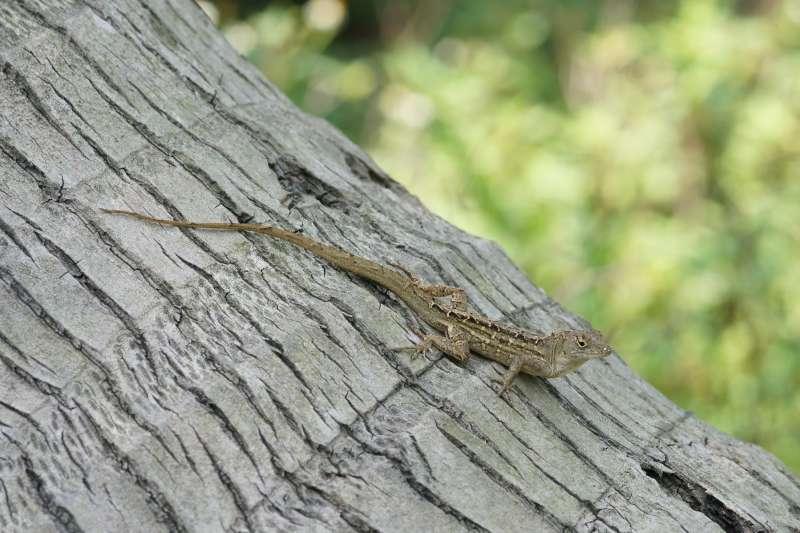 外來種「沙氏變色蜥」侵台十餘年,因繁殖力驚人,嚴重威脅本土種,造成生態及環境危害。(圖/花蓮林管處提供)