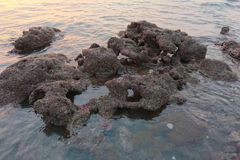 4月29日在大潭藻礁區拍到的「柴山多杯孔珊瑚島」,因佈滿柴山多杯孔珊瑚的礁體形狀如島而得名。(圖/潘忠政提供)
