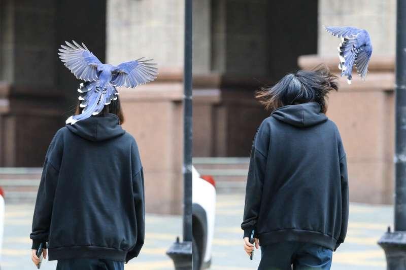 文化大學表示,最近華岡天空很熱鬧,藍鵲滿天飛,請路過師生小心。(取自文化大學臉書,文化大學大傳系教授王翔郁拍攝)
