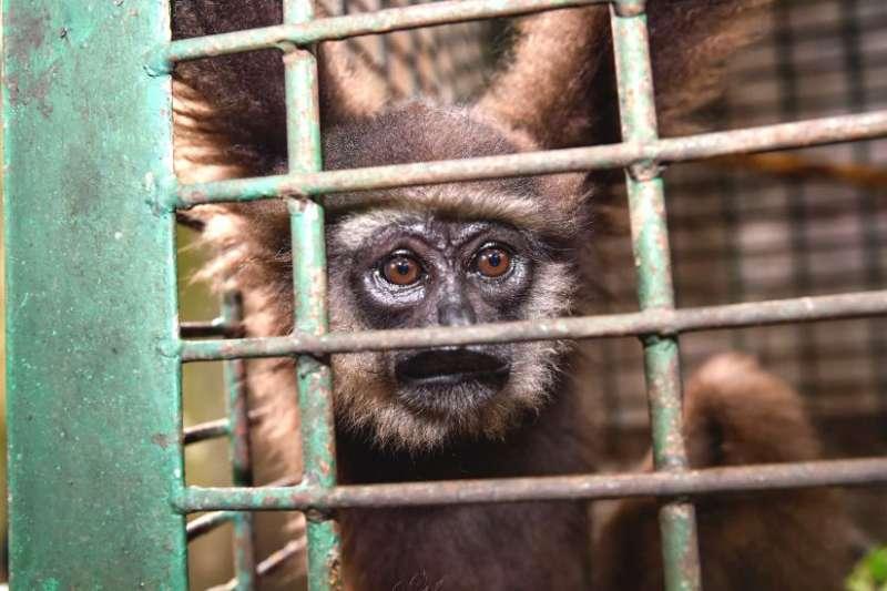 印尼警方拯救被非法交易的一隻小長臂猿。(BBC)
