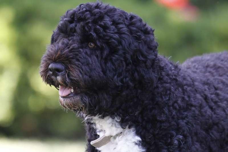 2021年5月8日,美國前總統歐巴馬愛犬阿博(Bo)過世(資料照,AP)