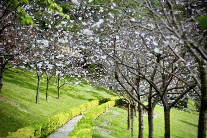 春天梵蒂岡花園的櫻花小徑(曾廣儀攝)