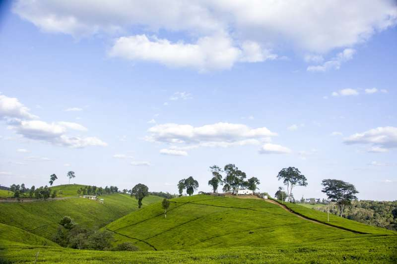 肯亞茶園(取自Pixabay)