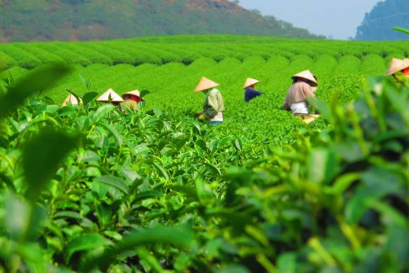 英國慈善組織「基督教救助協會」最新研究報告指出,如果全球暖化加劇,茶葉產量可能在未來數十年間銳減(取自Pixabay)