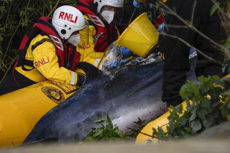 一頭年幼的小鬚鯨誤入泰晤士河,幸好救援人員援救成功。(美聯社)