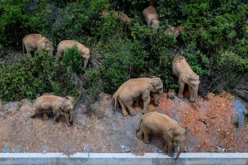 5月28日在雲南省玉溪市峨山縣內的象群(新華社)